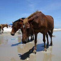 Ponies, Beach, Assateague Island