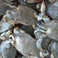 Bushel of Blue Crabs, Crisfield, Maryland