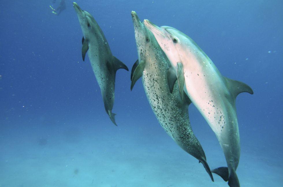 Spotted Bottlenose Dolphins, Freeport, Grand Bahama Island, The Bahamas, Caribbean