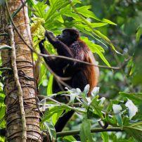 Mantled Howler Monkey, Alouatta Palliata, Cahuita National Park, Costa RIca