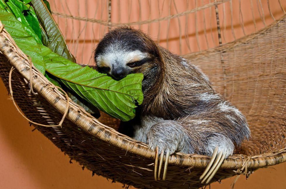 Three-Toed Sloth, Sloth Sanctuary, Costa Rica