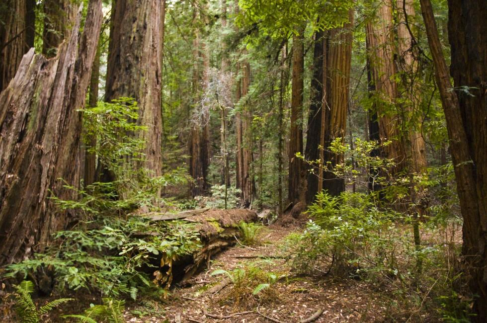 Forest, Muir Woods National Monument, California, USA