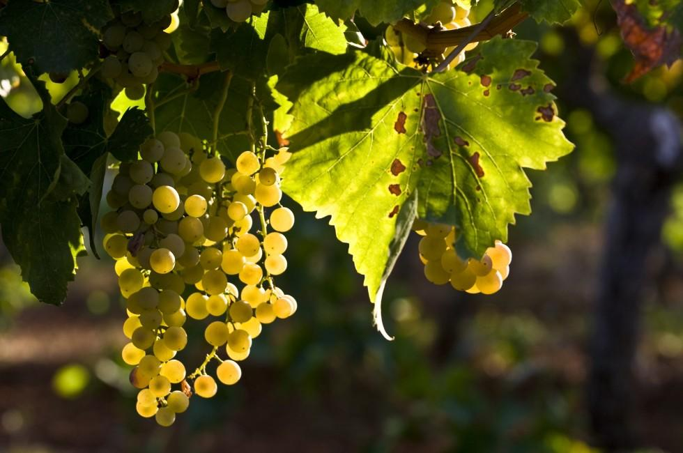 Grapes, Istria