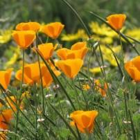 California Poppies, Flowers, Ina Coolbrith Park, San Francisco, California, USA