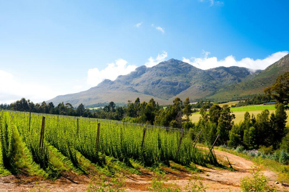 Hops Field, George, South Africa
