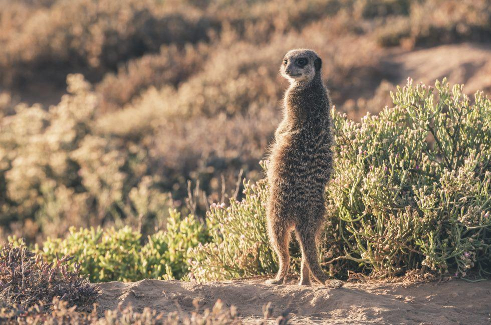 Meerkat, The Little Karoo, Western Cape, South Africa