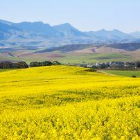 Rapeseed Fields, The Overberg, Western Cape, South Africa