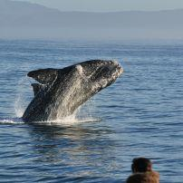 Whale, Walker Bay, Hermanus, South Africa, Africa