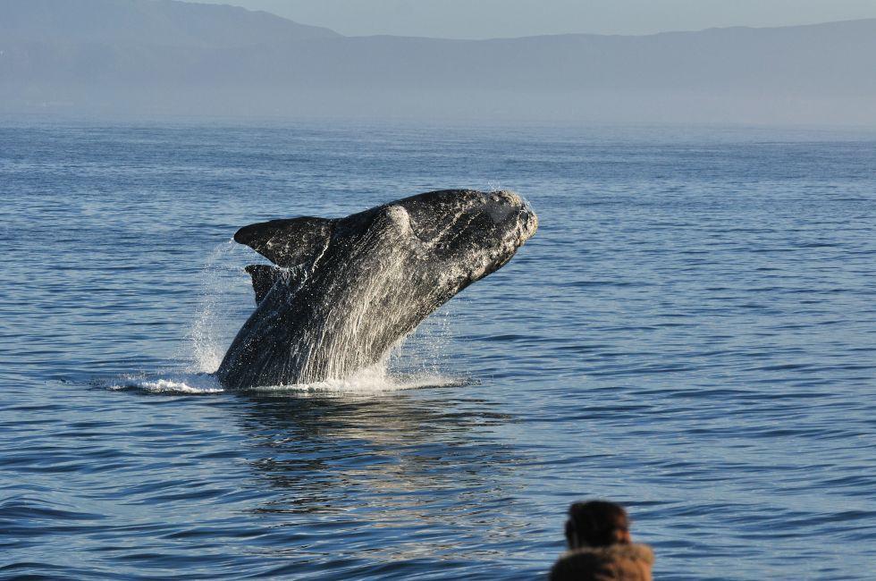 Whale, Walker Bay, Hermanus, South Africa, Africa