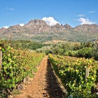 Vineyards, Stellenbosch, South Africa, Africa