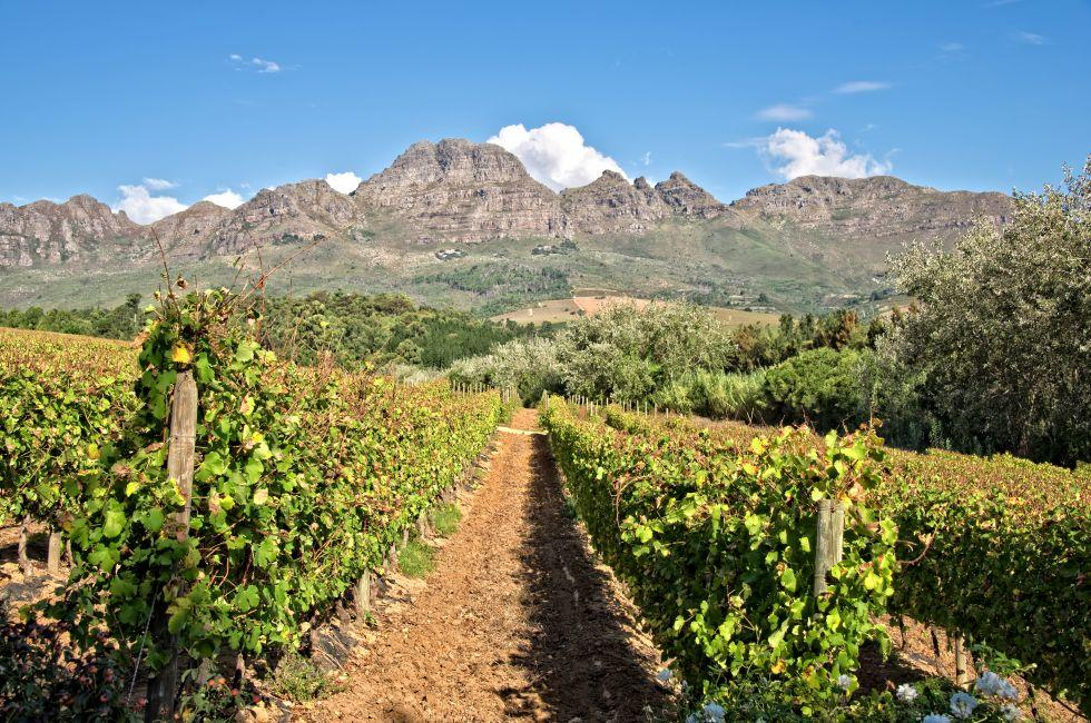 Vineyards, Stellenbosch, South Africa, Africa
