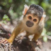 Squirrel Monkey, Crags, Plettenberg, South Africa