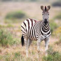 Zebra, Amakhala Game Reserve, Eastern Cape, South Africa