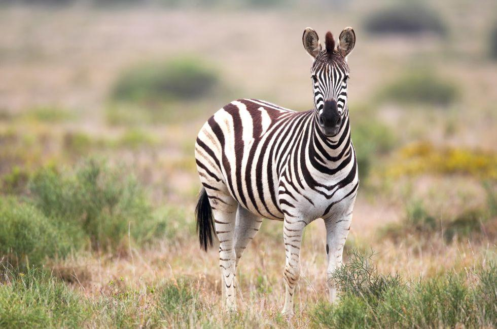 Zebra, Amakhala Game Reserve, Eastern Cape, South Africa