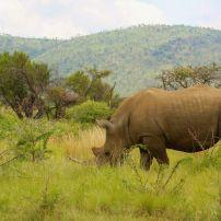 Rhino, Pilanesberg Game Reserve, South Africa