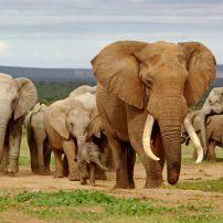 Elephant, Herd, Addo Elephant National Park, South Africa