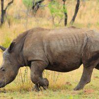 Black Rhino, Kwandwe Private Game Reserve, South Africa