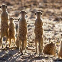 Meercats, Samara Private Game Reserve, South Africa
