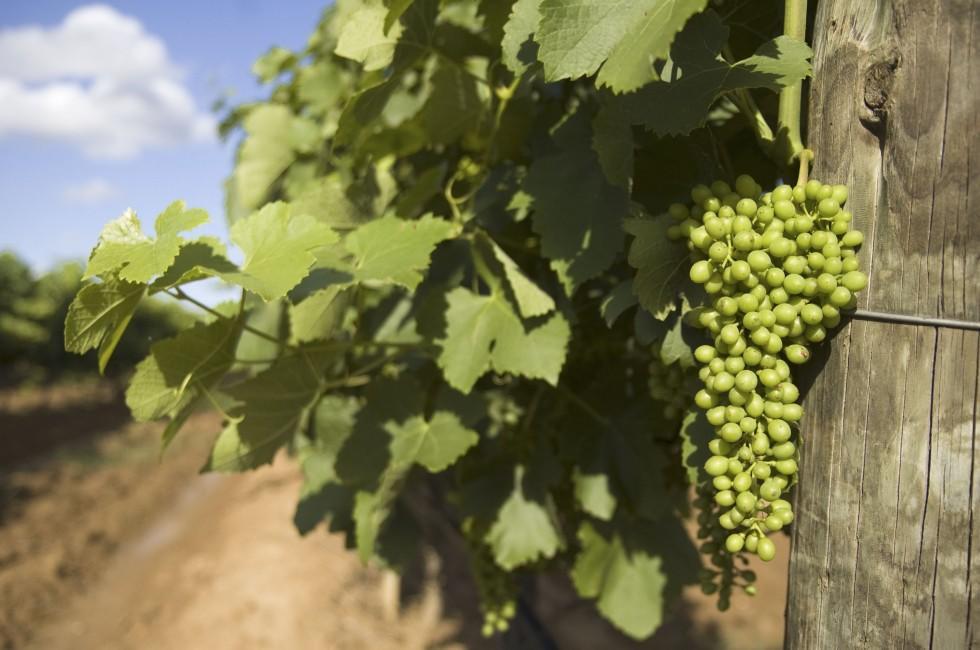 Grapes, Vineyard, New South Wales, Australia