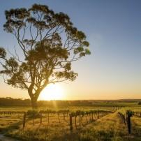 Vineyard, Barossa Valley, South Australia, Australia