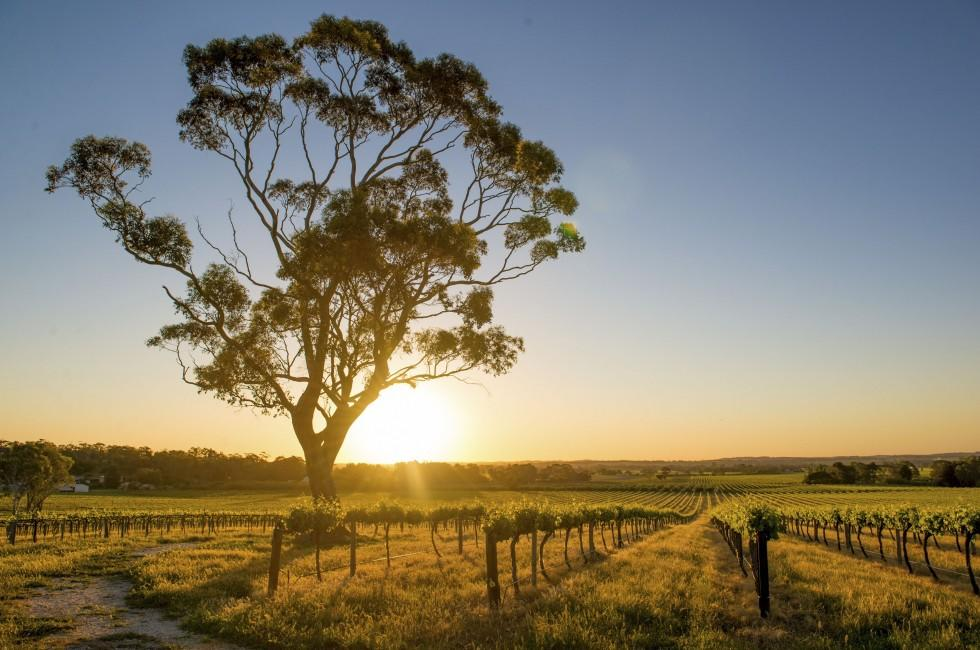 Vineyard, Barossa Valley, South Australia, Australia