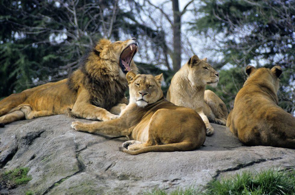 Lions, Woodland Park Zoo, Phinney Ridge, Seattle, Washington, USA