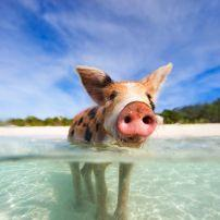 Pig, Beach, Exuma, Bahamas, Caribbean