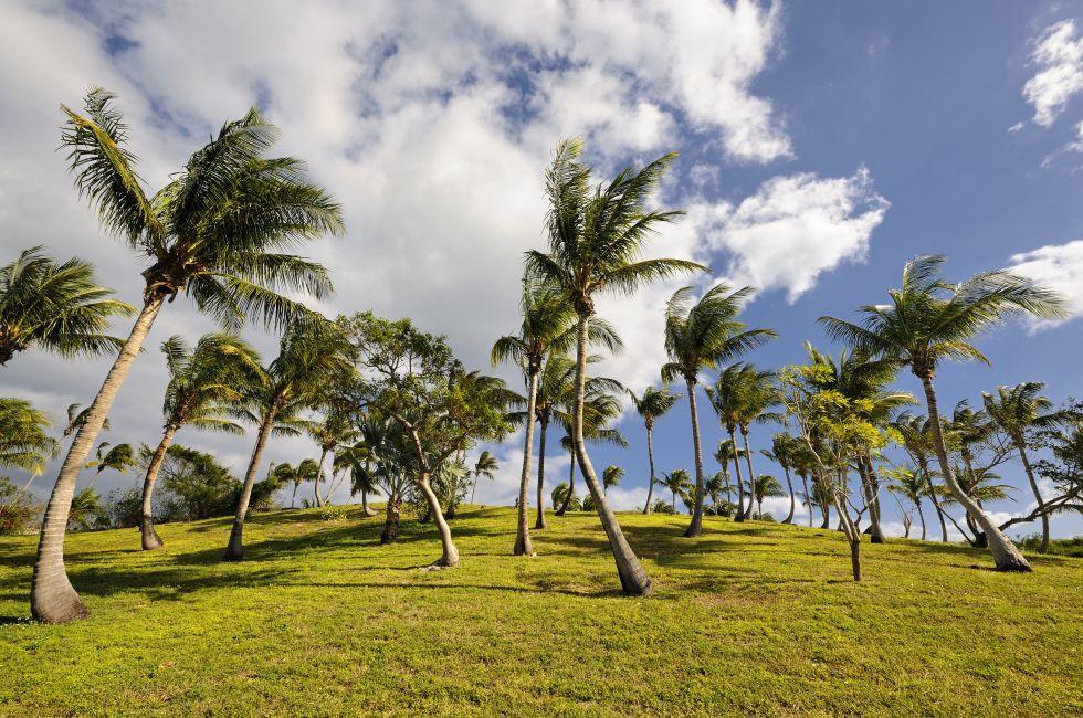 Coconut Trees, Governor's Barbor, Eleuthera, Bahamas, Caribbean