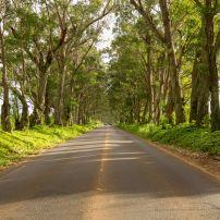 Eucalyptus Trees, Maluhia Road, Koloa Town, Kauai, Hawaii