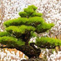 Bonsai Tree, Hallim Park, Jeju Island, South Korea