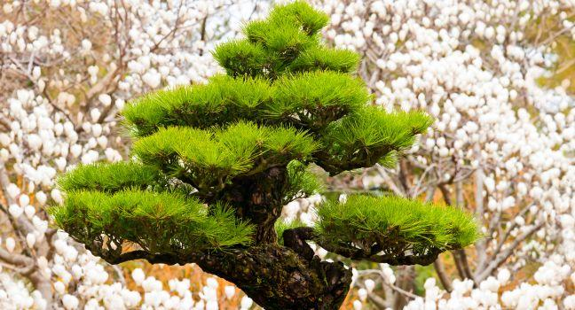 Bonsai Tree, Hallim Park, Jeju Island, South Korea