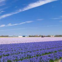 Flower Field, Lisse, The Netherlands