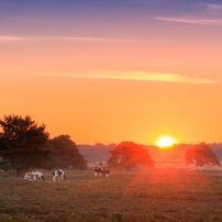 Cows, De Hoge Veluwe, The Netherlands