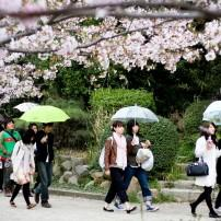 Cherry Blossom Celebration, Akashi Castle, Kobe, Japan