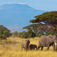Elephants, Mount Kilimanjaro, Tanzania