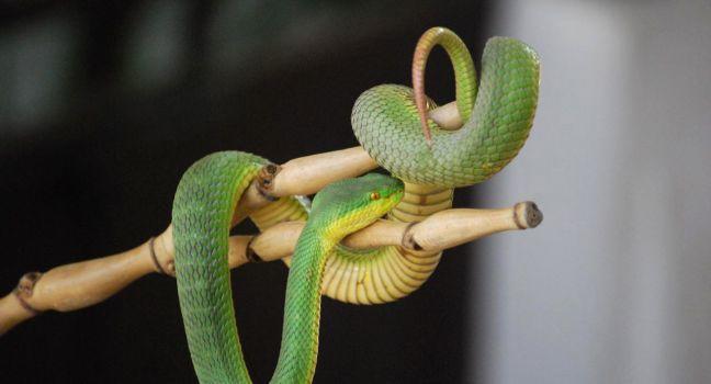Snake, Queen Saowapha Snake Farm, Silom and Bang Rak, Bangkok, Thailand, Asia.
