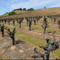 Vineyard, Geyserville, California