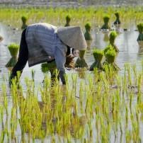Farmer, Rice Paddy, Mekong Delta, Vietnam