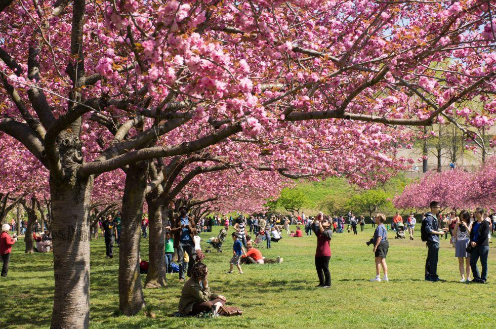 Cherry Blossom Trees, Brooklyn Botanical Garden, Brooklyn, New York City, New York