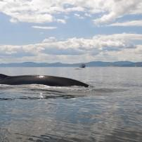 Whale, St Lawrence river, Quebec, Canada