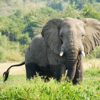 Elephant, Victoria Nile, Uganda, Africa