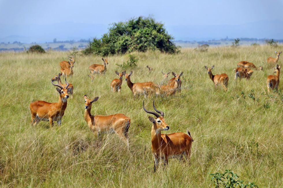 Kobs, Queen Elizabeth National Park, Uganda, Africa