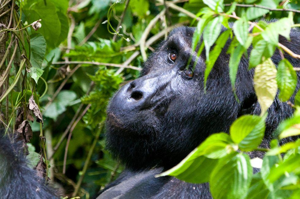 Silverback Mountain Gorilla, Bwindi National Park, Uganda, Africa