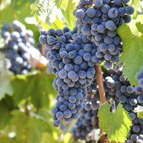 Grapes, Napa, California, USA