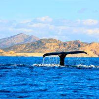Humpback whale, Cabo San Lucas, Los Cabos, Mexico, Mexico and Central America