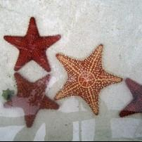 Starfish, Coral World Ocean Park, St. Thomas, USVI, Caribbean