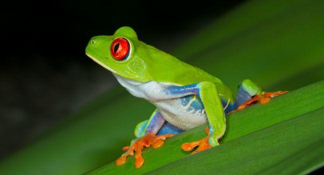 Red-eyed Treefrog, Tortuguero National Park, Costa Rica
