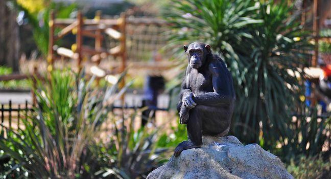Chimpanzee, Johannesburg, South Africa