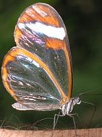 Costa Rica butterfly ID?-glasswing2.jpg
