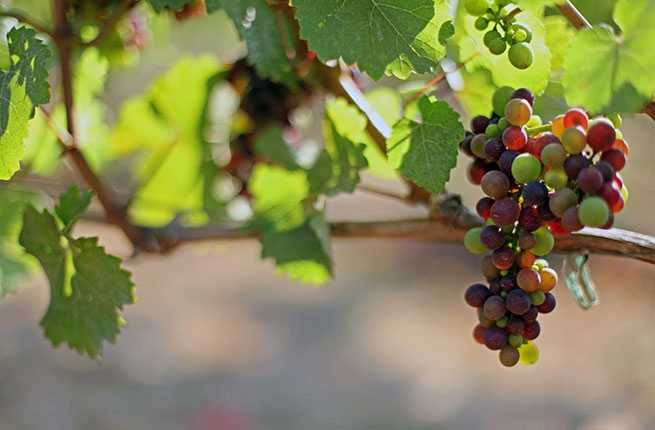 grapes_photo-credit-jenny-hill-travel-oregon.jpg